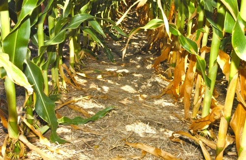 Corn in ryegrass cover crop-web